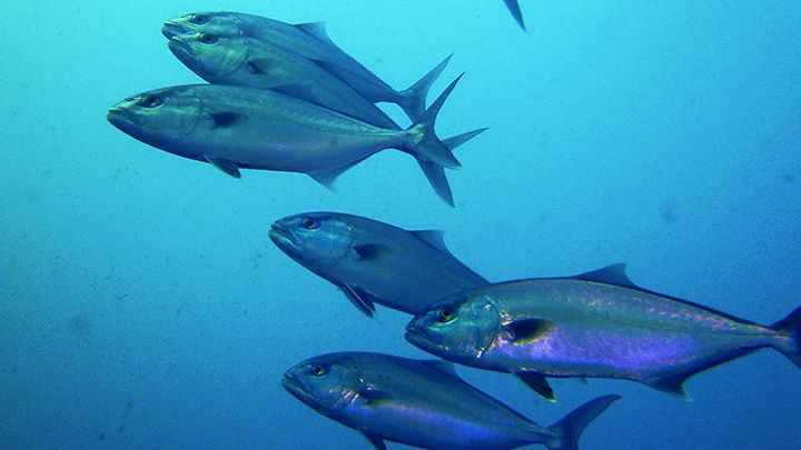 Santorini scuba diving sealife exploration