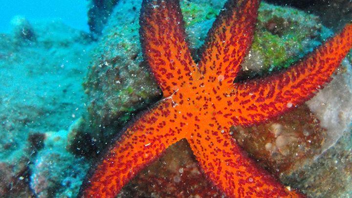 Santorini sealife starfish