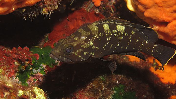 Santorini volcanic reef fish
